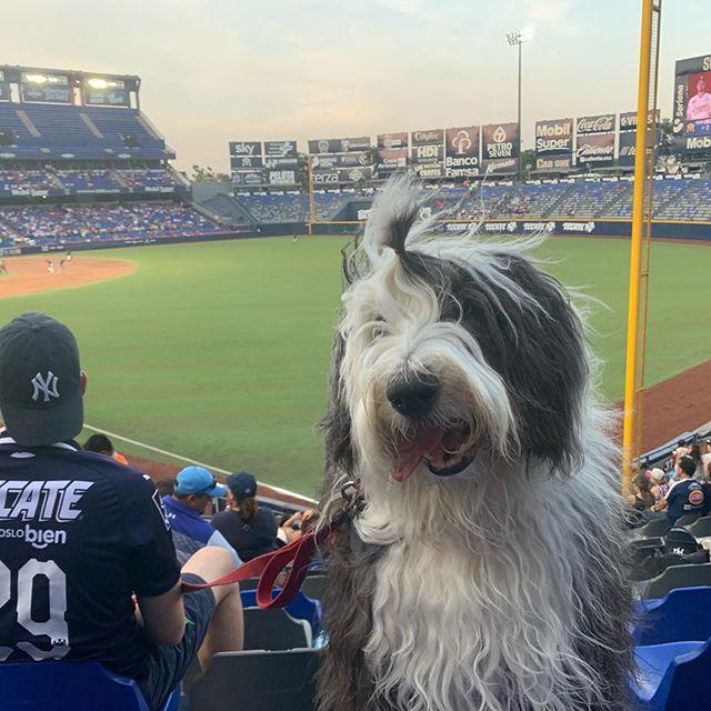 #VickyTheSheepdog por primera vez en el estadio, tuvimos una área exclusiva para #Perros con sombra y jardín a menos de 5 metros, fue un día histórico para @mexicopetfriendly pues ésta es la primera vez que los 🐶 pueden entrar a un partido de béisbol en #México  Una vez más comprobamos que los Perros bien portados son bienvenidos en todos lados 🎉  #instaperrosmexico #PetFriendly #undíaperrón #oldenglishsheepdog #barkatthepark #baseball #béisbol #TodosSomosSultanes #Sultanes #PerrosReporteros
