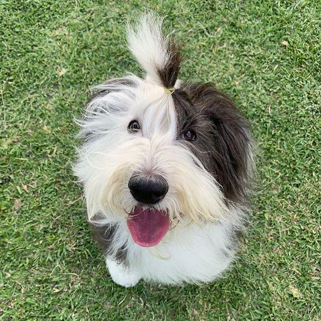 #vickythesheepdog te desea un fin de semana muy content@. Recuerda usar #perrosreporteros cada que vayas a un sitio #PetFriendly y etiquétanos en tus historias para darle #Repost a los sitios que visitas con tu #Mascota.  #cuadrupedos19 #MéxicoPetFriendly #Dogs #oldenglishsheepdog #antiguopastoringles #dogsofinstagram #perrosdemexico #OES #vpi #parklife