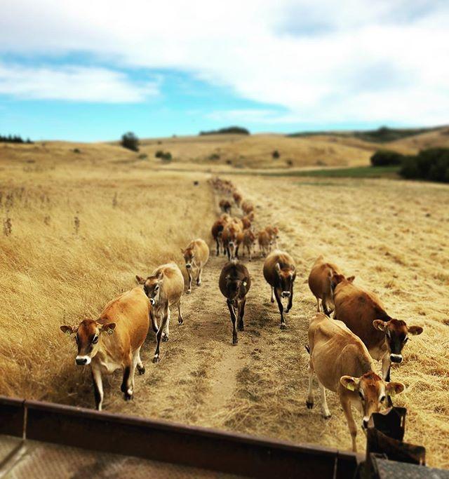 Happy cows ☀️