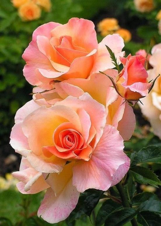 DETAIL_rose.jpg