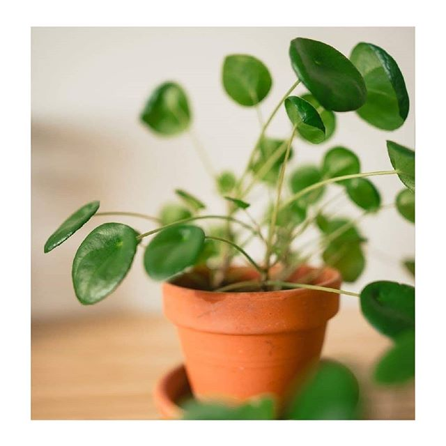 🌿🌿🌿 Kvetinky na predaj 🌿🌿 🌿 5. PILEA 10€ Reserve . . .  #pileapeperomioides #pilea #plantsmakepeoplehappy #minimalism #urbanjunglebloggers #houseplantclub