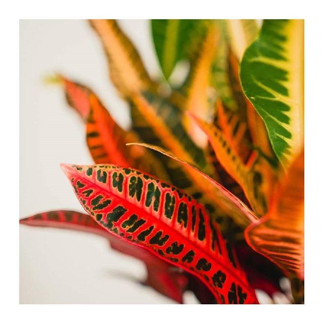 🌿🌿🌿 Kvetinky na predaj 🌿 🌿 🌿 4.Croton 🙌 Krásna a ohnivá rastlinka. Voláme ju Daenerys. Máme dva kusy. Prvá záväzná rezervácia berie 😉 Cena : 16€