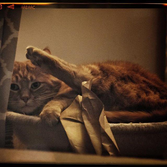 Gingerly Oglethorpe (Fujifilm X-H1) #fujifilmXH1 #fujifilmxseries #XH1 #fujifilm_xseries  #fujiXH1 @fujifilm_global #gingercatsrule #gingercats #gingercataofinstagram #cat #cats #catsofinstagram