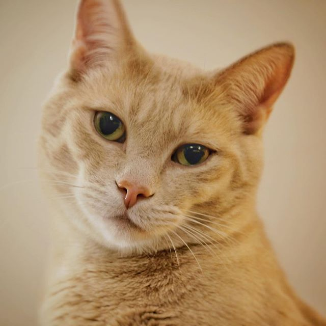 Seamus McGillicudy (Fujifilm X-H1) #fujifilmXH1 #fujifilmxseries #XH1 #fujifilm_xseries  #fujiXH1 @fujifilm_global #fujinon18135mm #cats #cat #catphotography #catsofinstagram #catsoftheweek #catsoftheworld #catsoftheday #gingercats #gingercatappreciationday #gingercatsrock #gingercatsofinstagram @ginger_cat_love @ginger_cat_pics_
