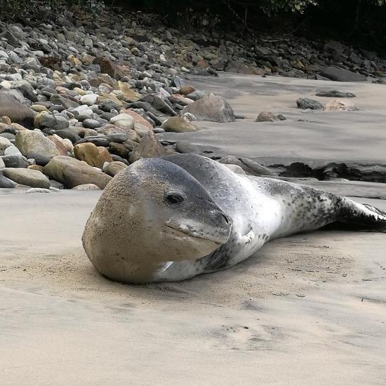 Leopard Seal.jpg