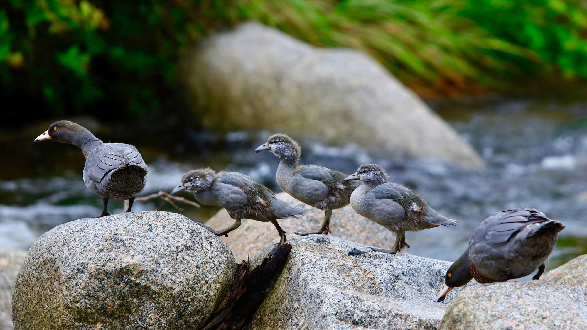 whio-and-ducklings.jpg