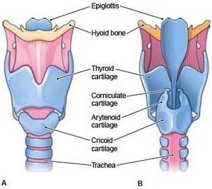 The cartilages of the larynx
