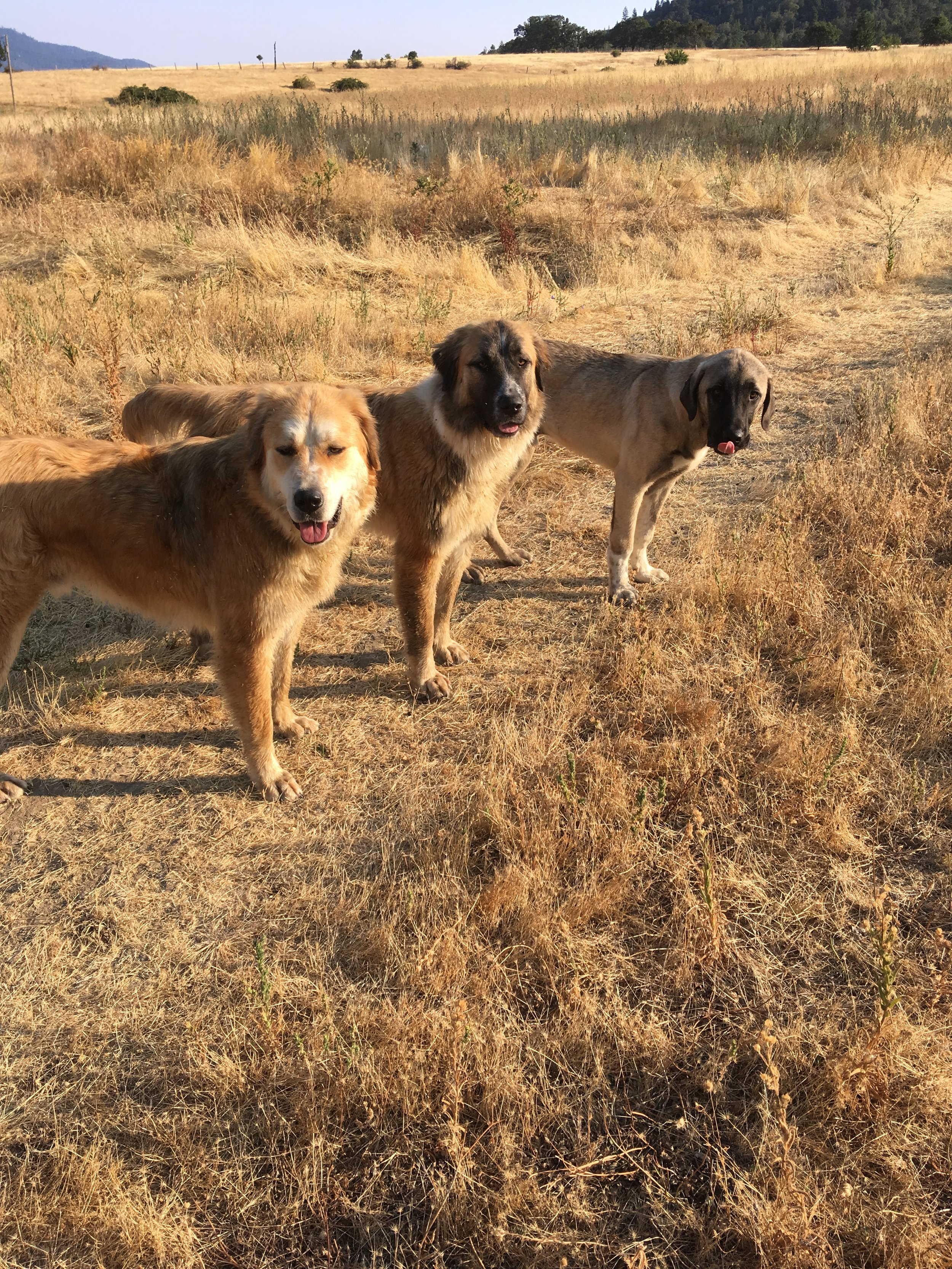 Sugarfield guardians: Riff Raff, Delilah and Lugo. Hey, you three...shouldn't you be with the sheep?