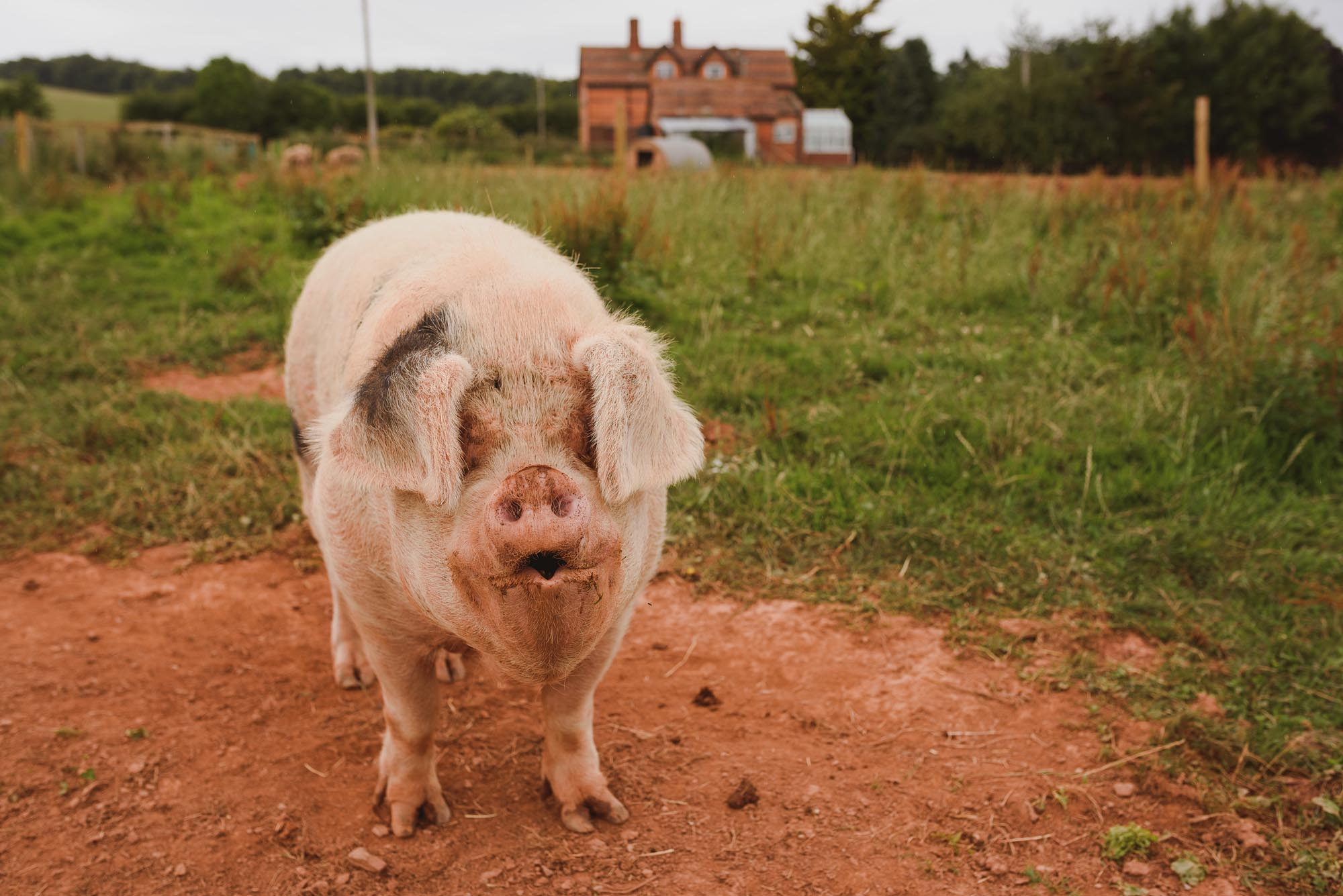 Huntstile Organic Farm Pig