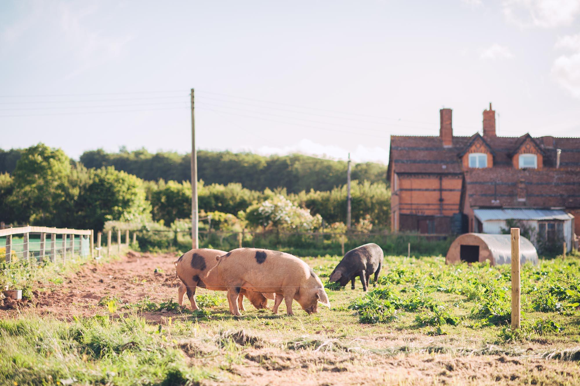 Nicola & Richard Wedding at Huntstile Farm - Pigs