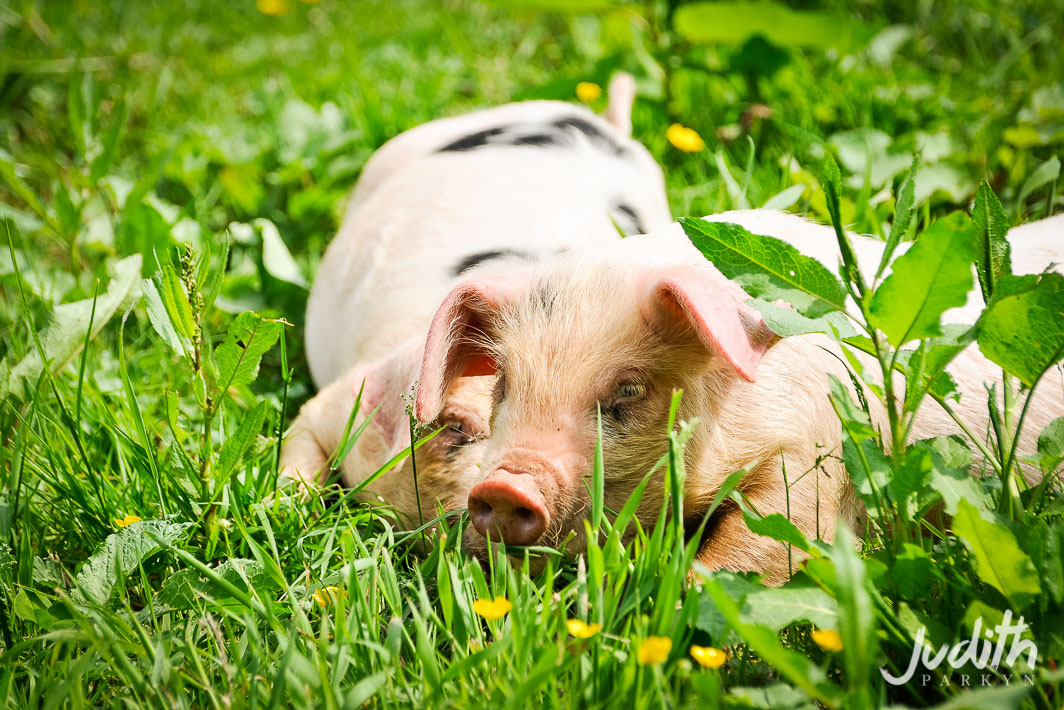 Huntstile Farm Open Day Pigs