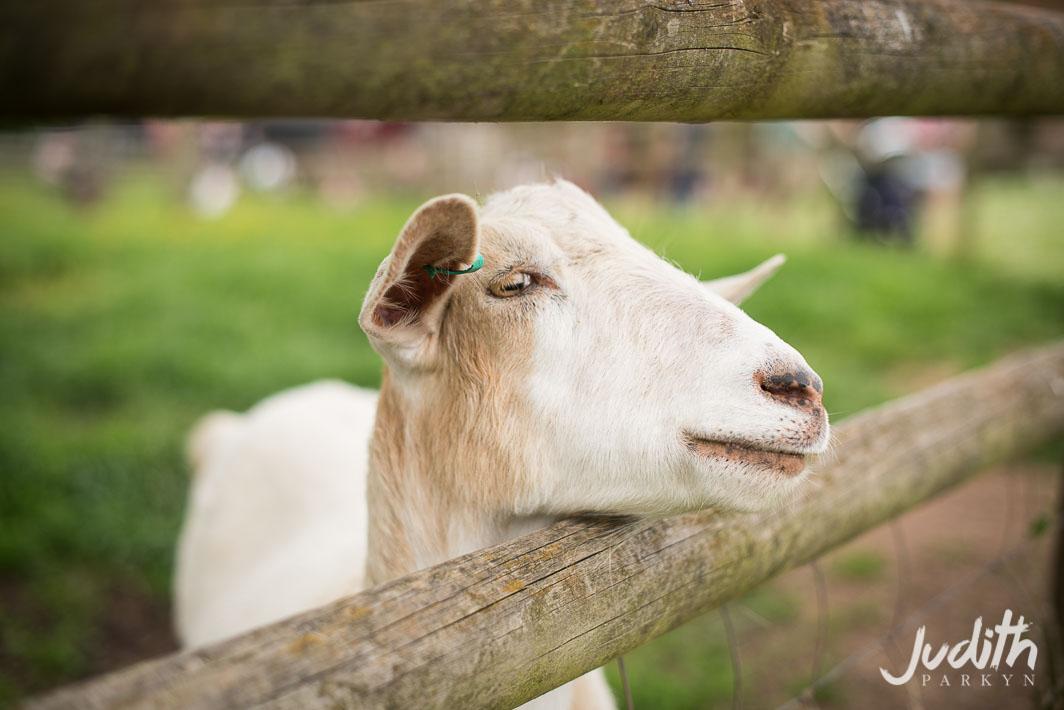 Huntstile Farm Goat