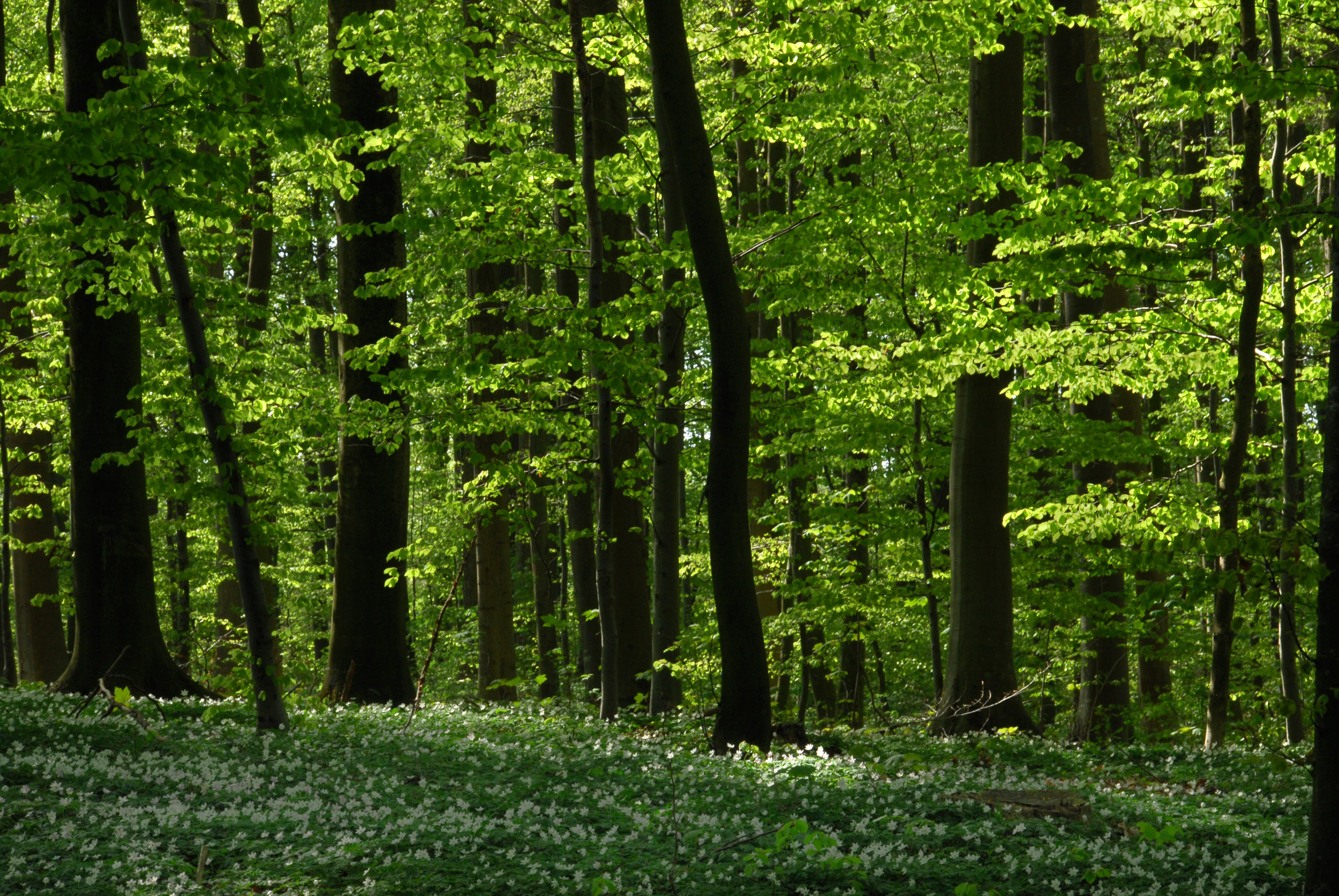 A Danish beech forest a day in late may.