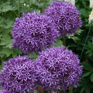 Allium_Globemaster_2_large.JPG