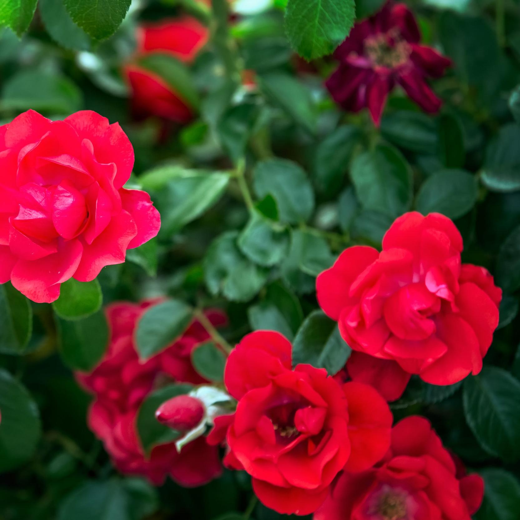 roses-PNDSZG6.jpg