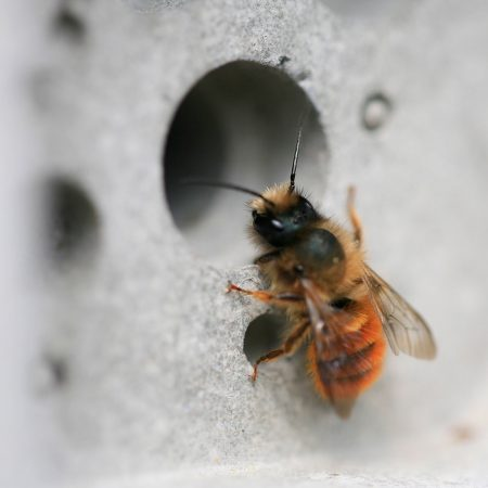 solitary-bee-on-bee-hotel-by-green-and-blue-450x450.jpg