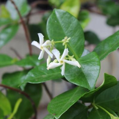 chinese-star-jasmine.jpg