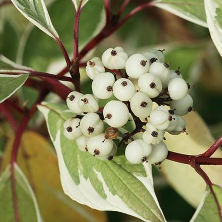 cornus-alba-dogwood-leaves-berries-and-red-stems.jpg
