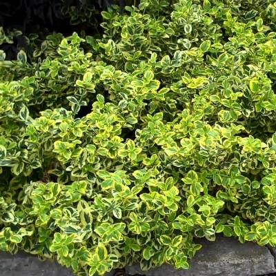 Euonymus Evergreen Periennial.jpg