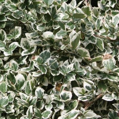 Euonymus Variegated Evergreen Periennial.jpg