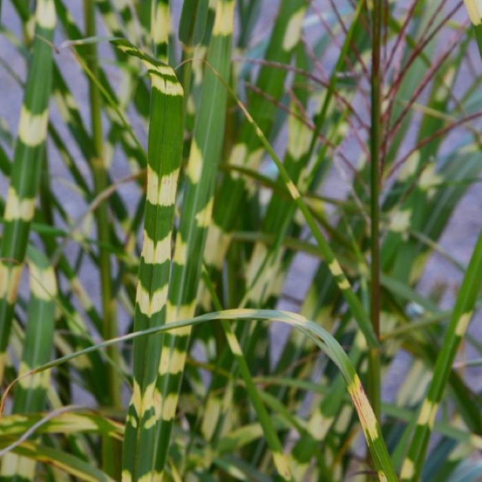 ZEBRA-GRASS-QUICK PRESET_700X700.PNG