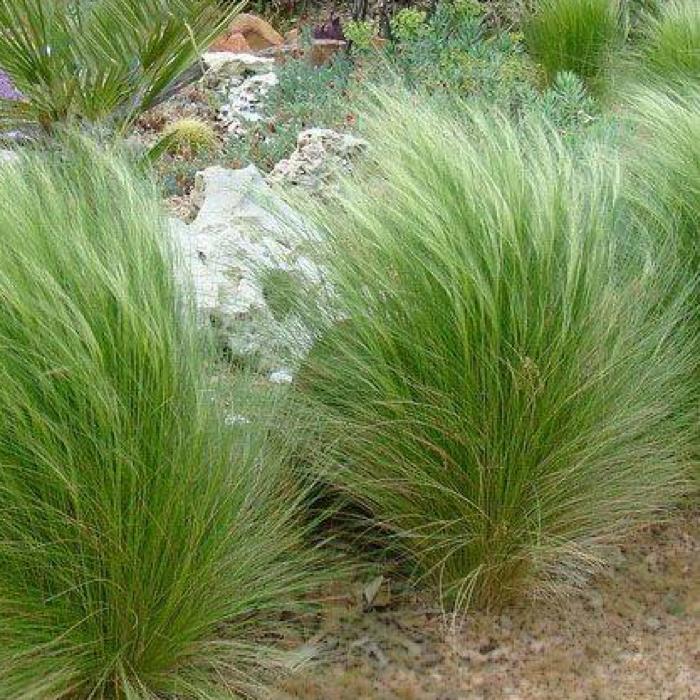 SIERGRASSEN-ORNAMENTAL-GRASSES-STIPA-TENUISSIMA-PO-QUICK PRESET_700X700.PNG