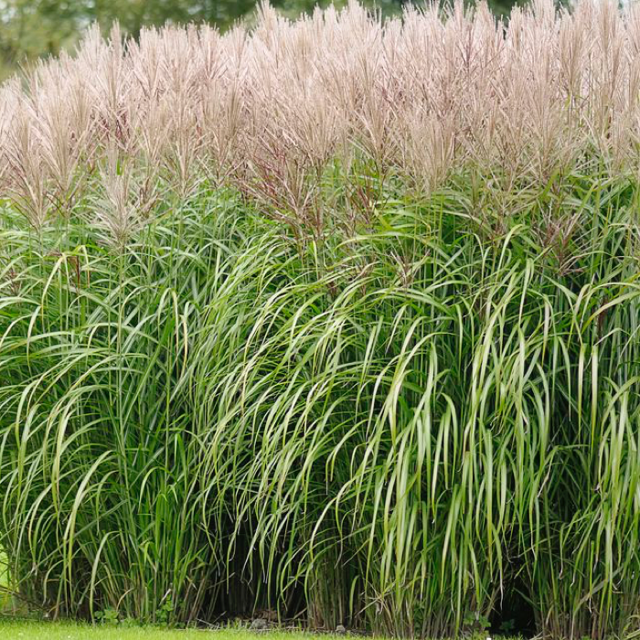 TYPES-OF-ORNAMENTAL-GRASS-12-BEST-ORNAMENTAL-GRASSES-FOR-LANDSCAPING-QUICK PRESET_700X700.PNG
