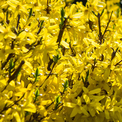 FORSYTHIA-HEDGING-HISTORY-QUICK PRESET_400X400.PNG