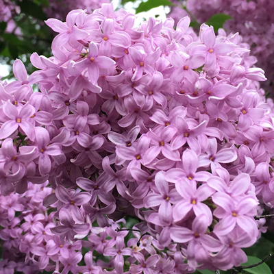 LILAC-HEDGE-UPKEEP-QUICK PRESET_400X400.PNG