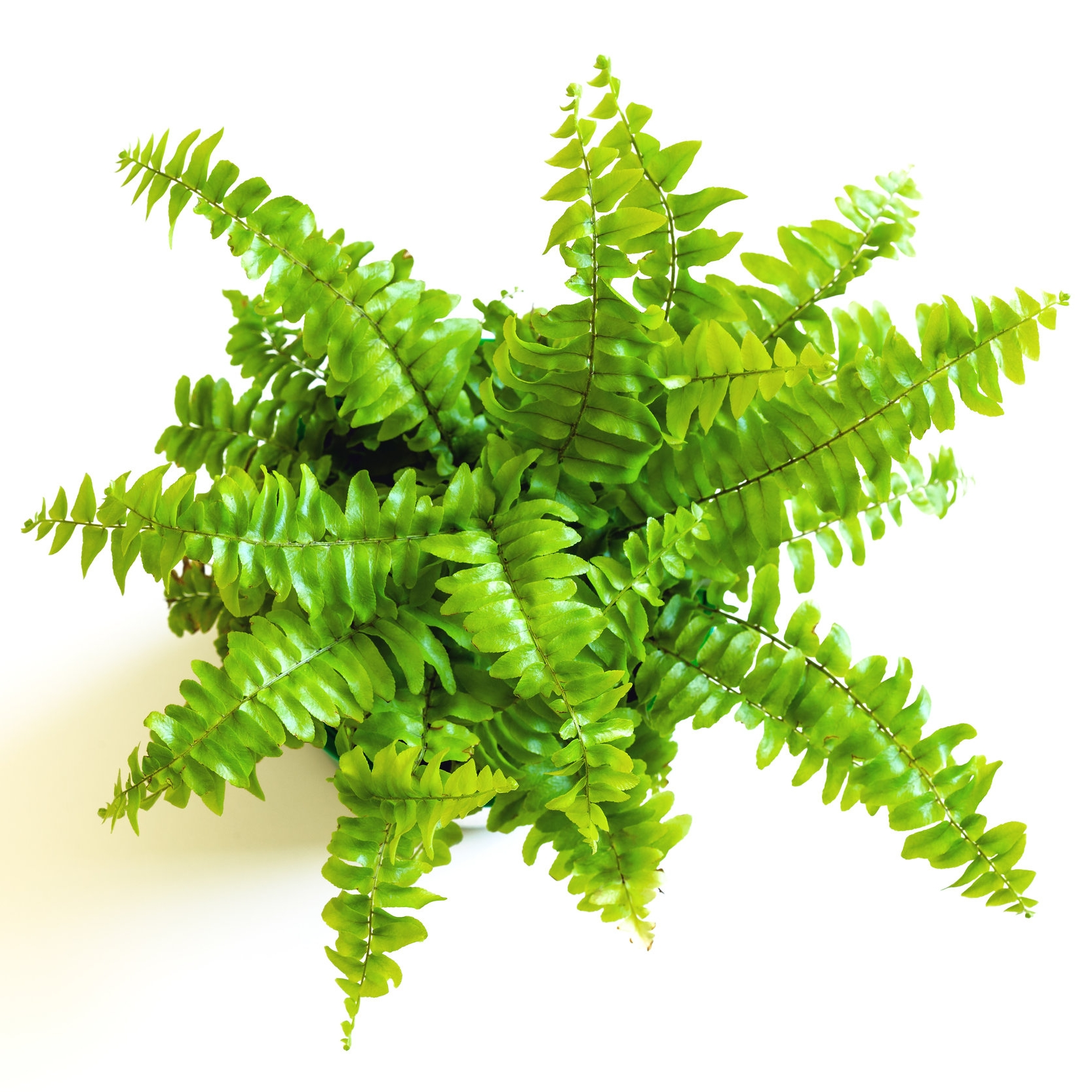 Nephrolepis in pot and foliage on white background (closeup)