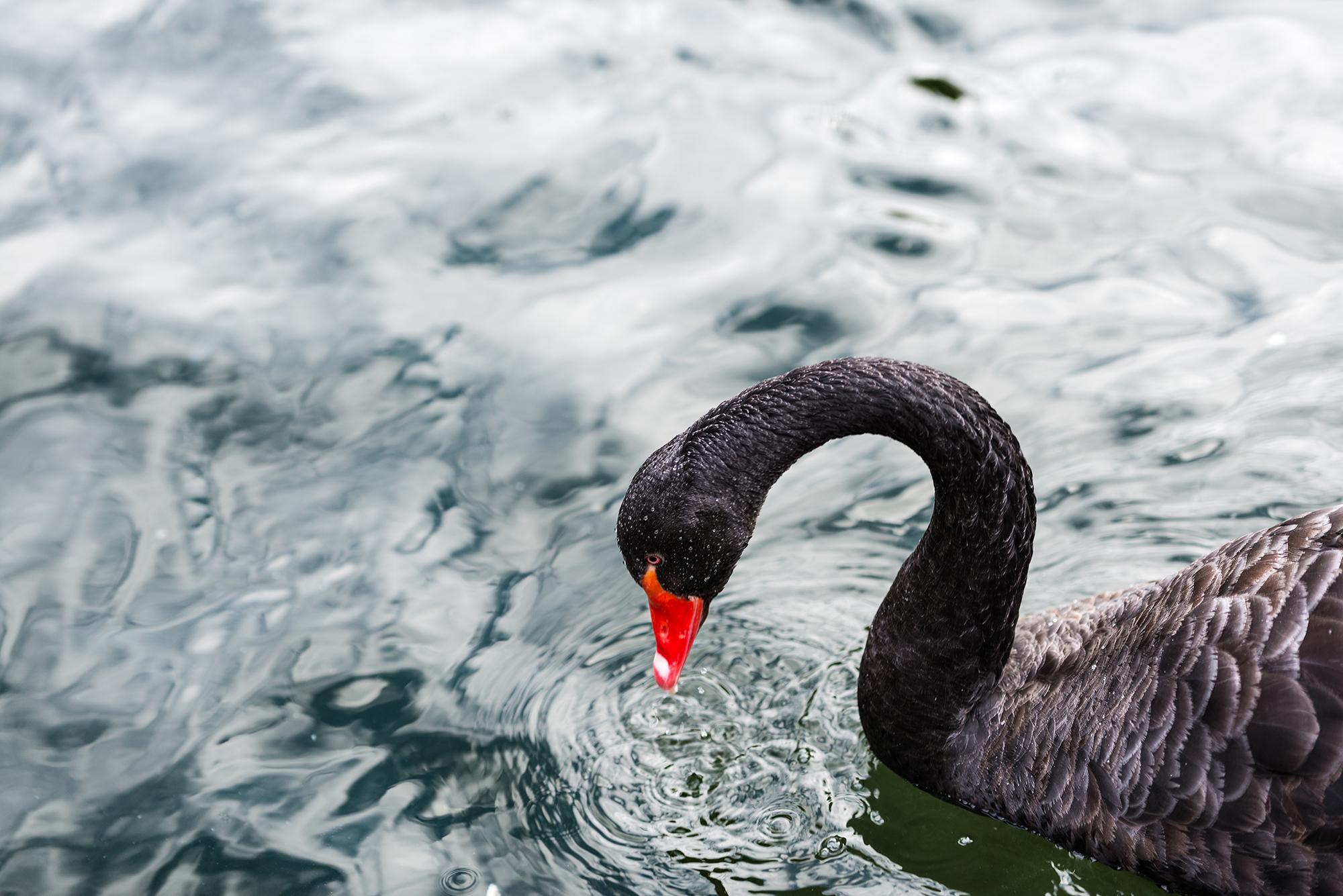Black Swan in Campo Grande park