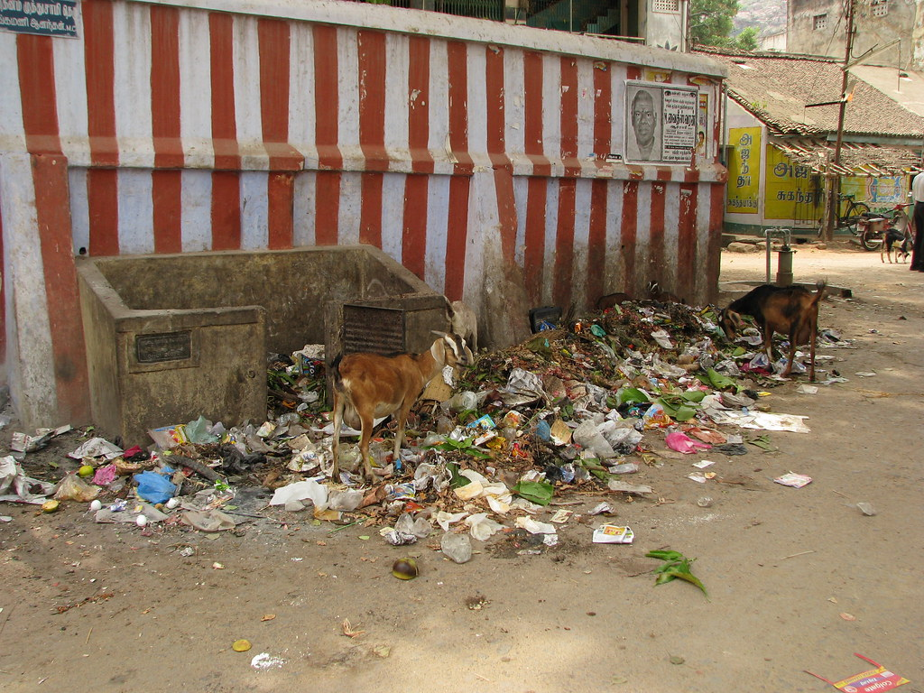 Goats in a pile of waste in India
