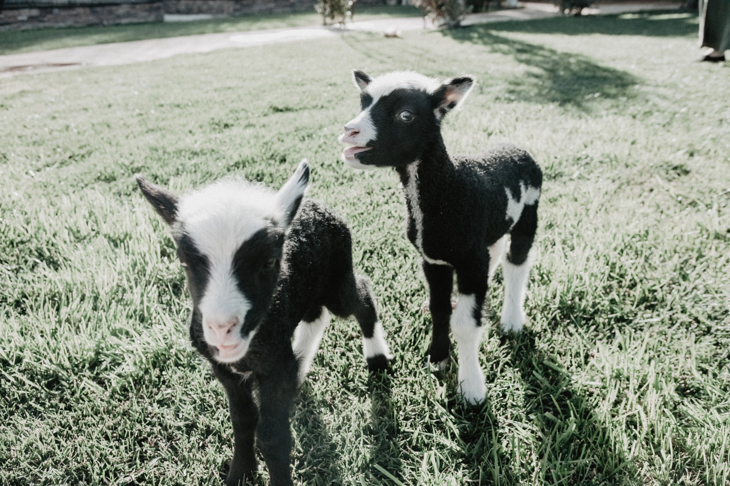 Two Baby Lambs at San Diego Farm