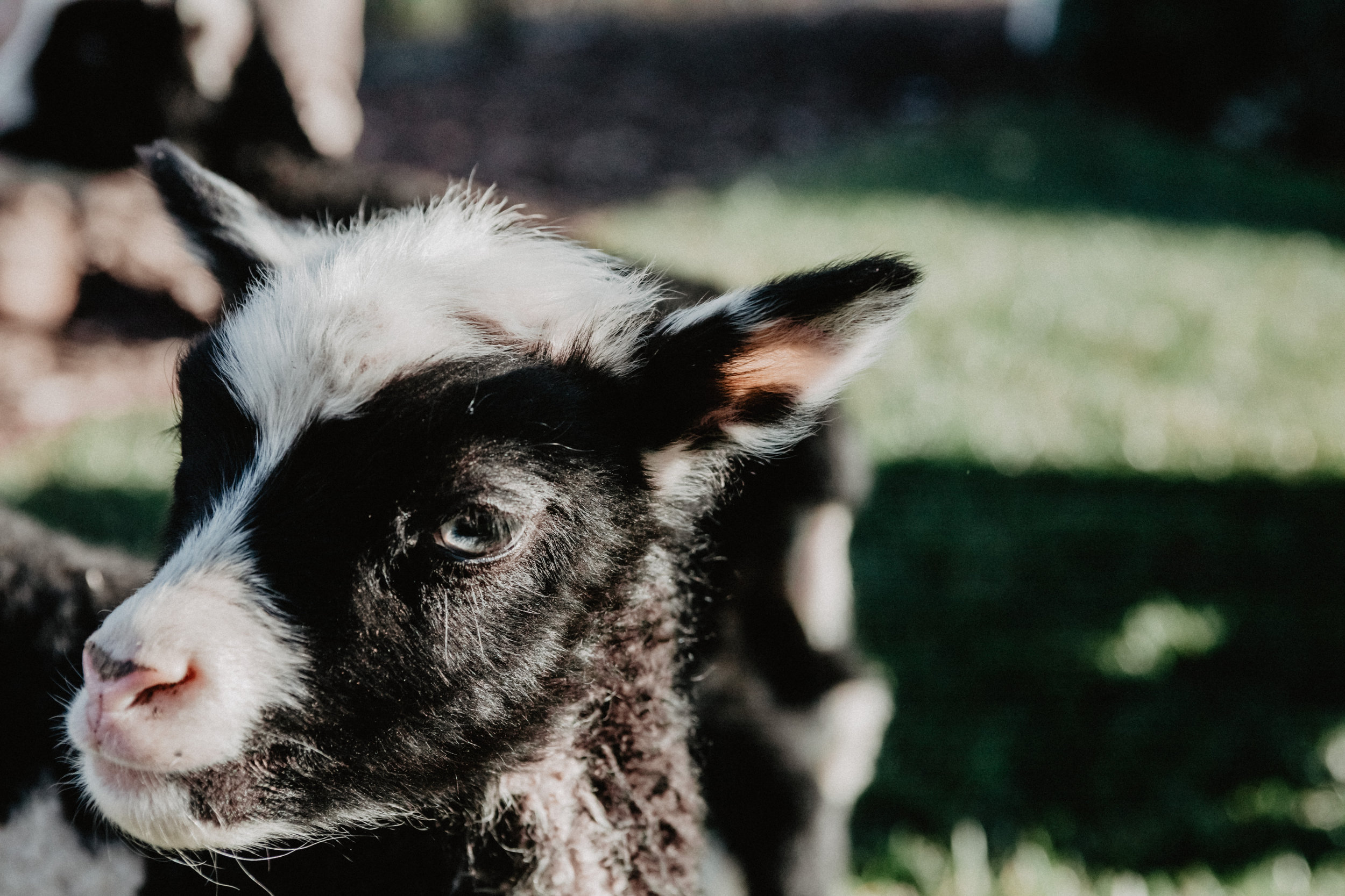 Baby Lamb at Forever and Always Farm near San Diego