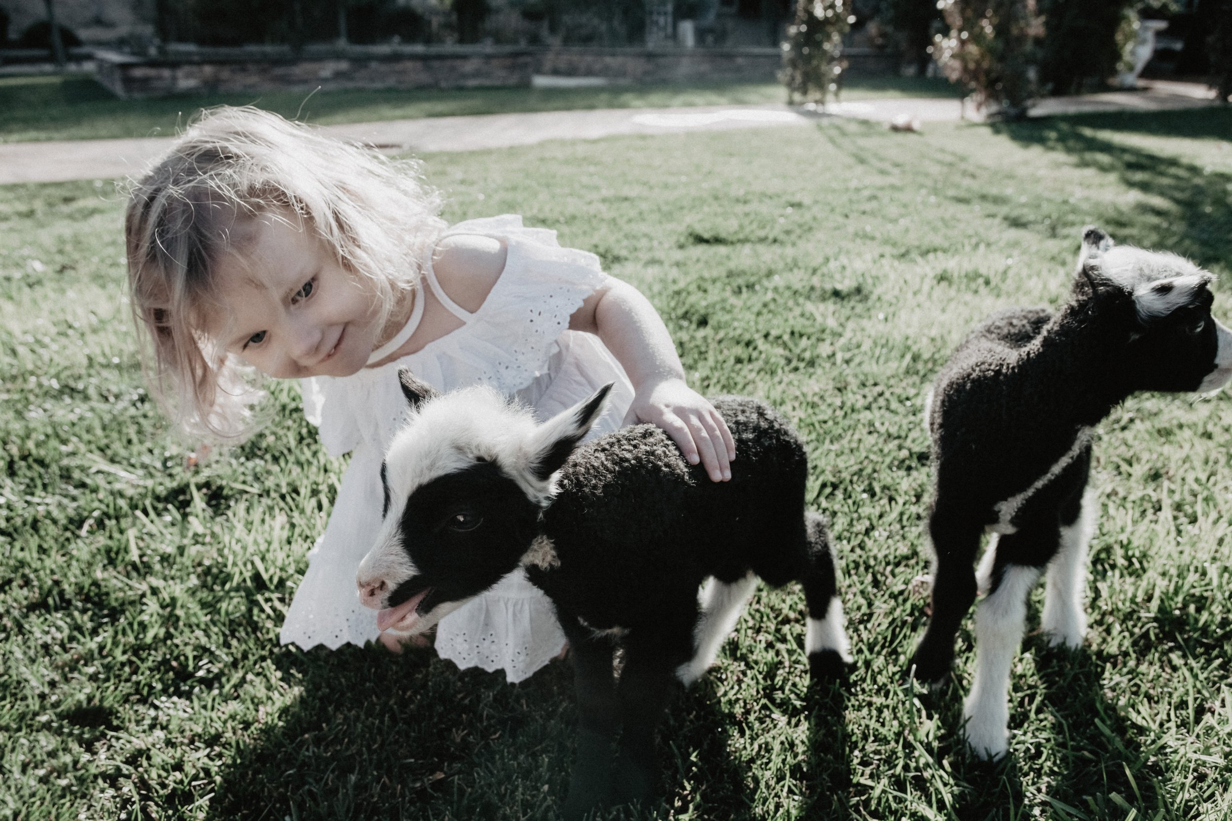 Lifestyle Child Portrait with two baby lambs in San Diego