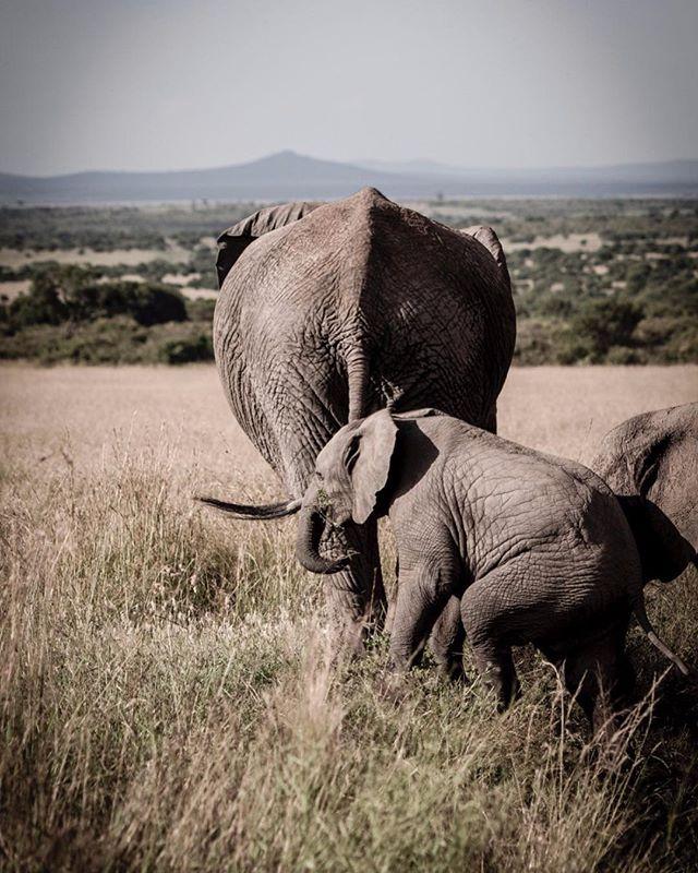 Family #wildlife #elephants #safari #wildlifephotography #wildlifephotographer #photograph #animals #photographydaily #photooftheday #photographyislife #myvisualnotebook #canon_official #canonphotography #canonphoto  #myfeatureshoot #exclusive_shots #ig_masterpiece #master_shots #500px #artofvisuals #theimaged #optoutside #theprintswap #myfeatureshoot  #nature #marvelous_shots #visualsoflife #modernoutdoors #passionpassport #yourshotphotographer #masaimaranationalpark