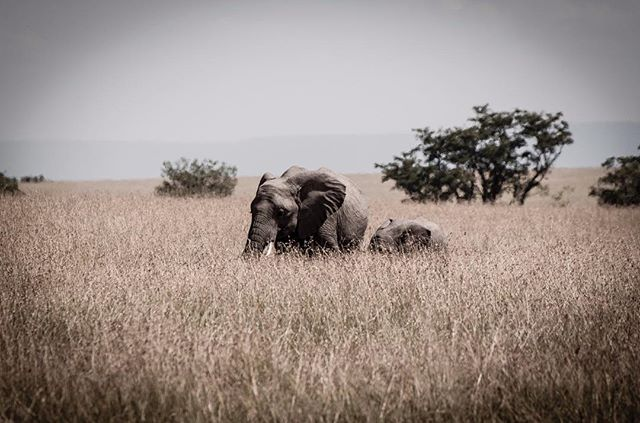 Weekend Stroll #elephants #safari #wildlifephotography #wildlifephotographer #photograph #animals #photographydaily #photooftheday #photographyislife #myvisualnotebook #canon_official #canonphotography #canonphoto  #myfeatureshoot #exclusive_shots #ig_masterpiece #master_shots #500px #artofvisuals #theimaged #optoutside #theprintswap #myfeatureshoot  #nature #marvelous_shots #visualsoflife #modernoutdoors #passionpassport #yourshotphotographer #masaimaranationalpark