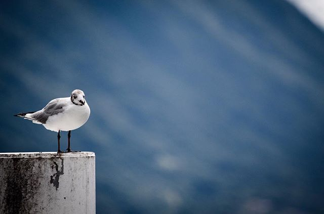 Perch #seagull #wildlifephotography #wildlifephotographer #photograph #animals #photographydaily #photooftheday #photographyislife #myvisualnotebook #canon_official #canonphotography #canonphoto  #myfeatureshoot #exclusive_shots #ig_masterpiece #master_shots #500px #artofvisuals #theimaged #optoutside #theprintswap #myfeatureshoot  #nature #marvelous_shots #visualsoflife #modernoutdoors #passionpassport #yourshotphotographer #lakecomo