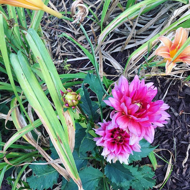 LEV // Lillie's and dahlias are ready for harvesting this week! #LEVlife #LevridgeBeverage #FlowerEssenceWater #madeinraleigh #floweressences #LEV