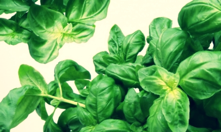 basil-herbs-green