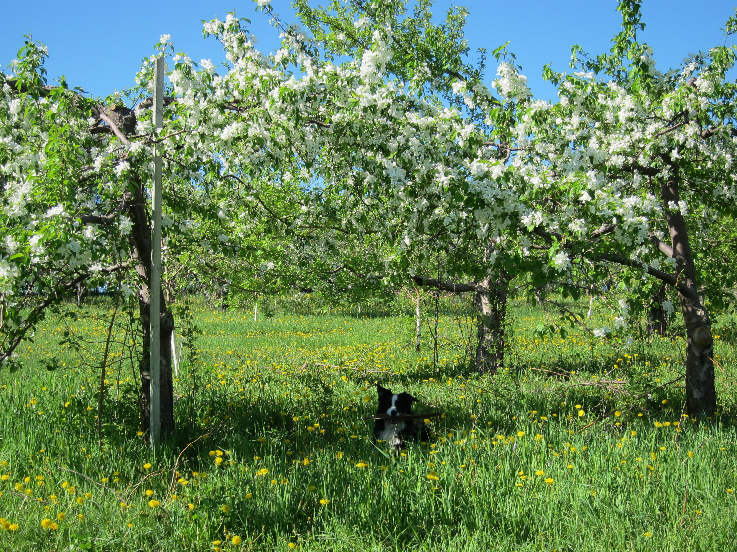Fletcher under trees in blossom.JPG