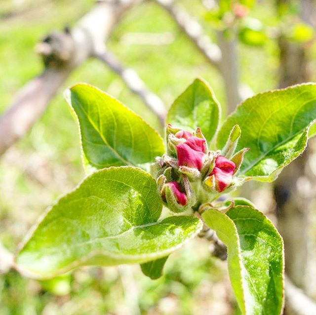 The blossoms are ready to pop! Join us this weekend - Saturday starting at 10am, wood-fired Heggie's Pizza and guest bartender Tony Zaccardi at 3pm. Sunday from 10-2, come celebrate Mom with Sunday brunch by Gwen Anderson of Local Plate. More details at the link in our bio.