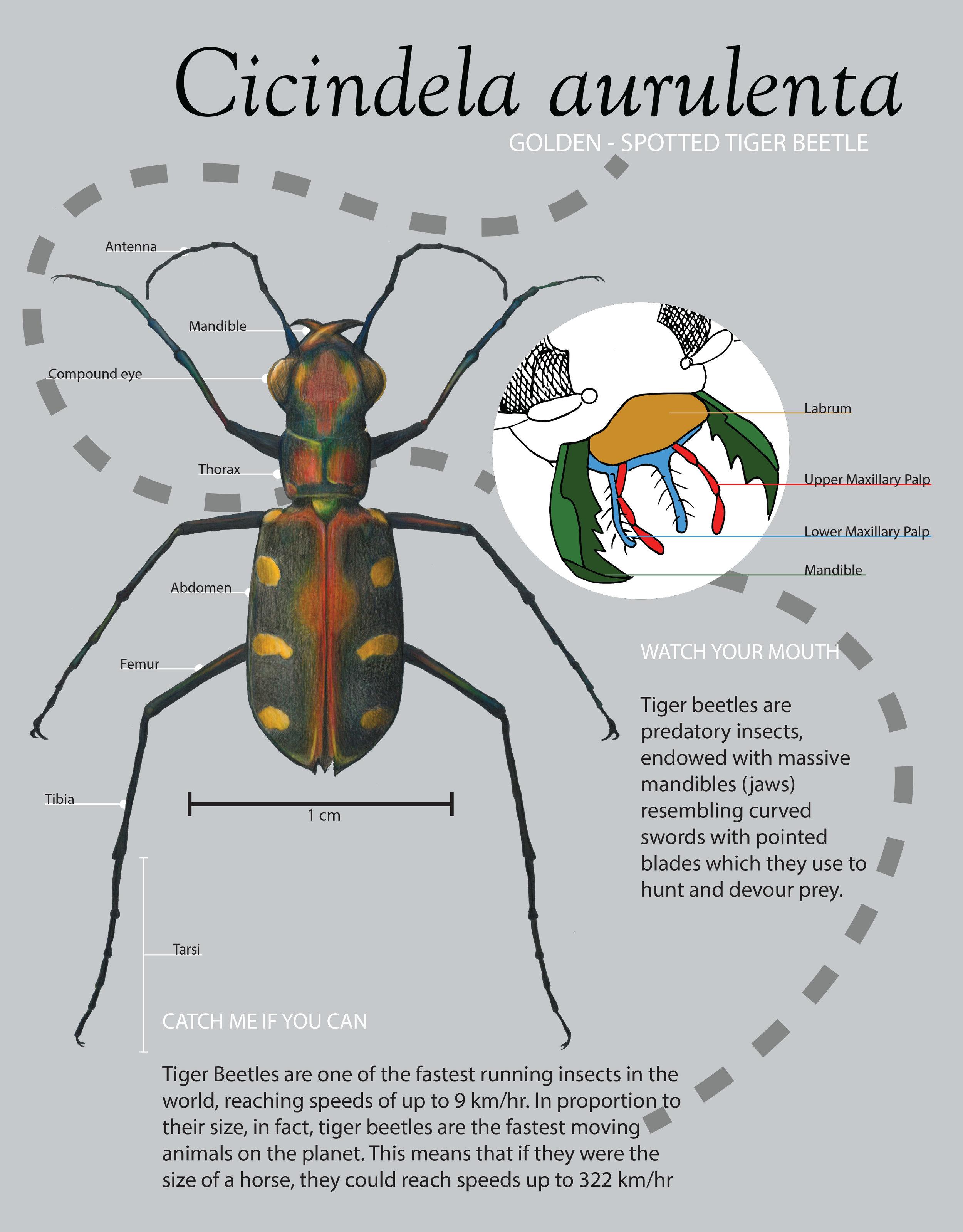 Tiger Beetle Final Poster.jpg