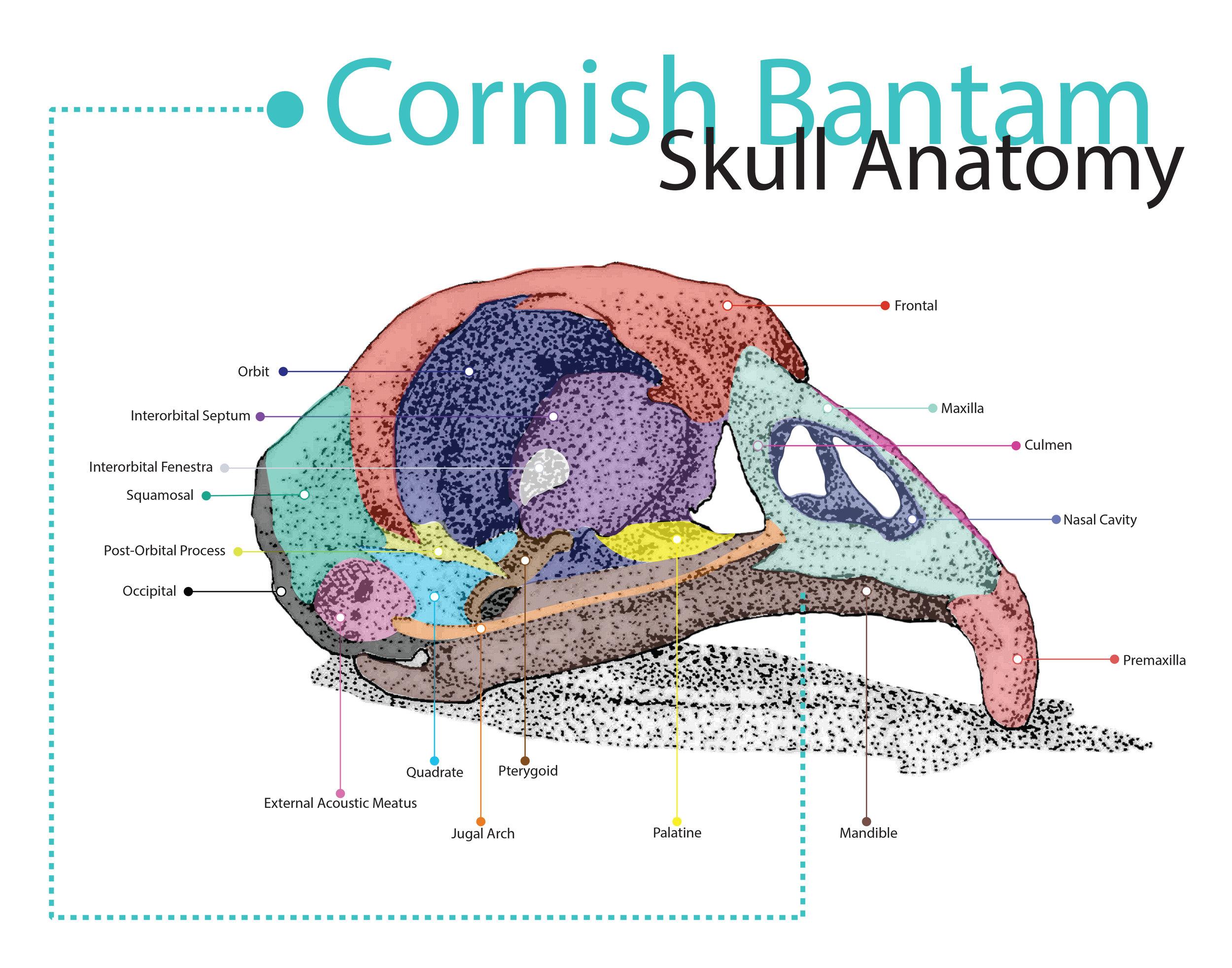 Cornish Bantam Poster Final.jpg