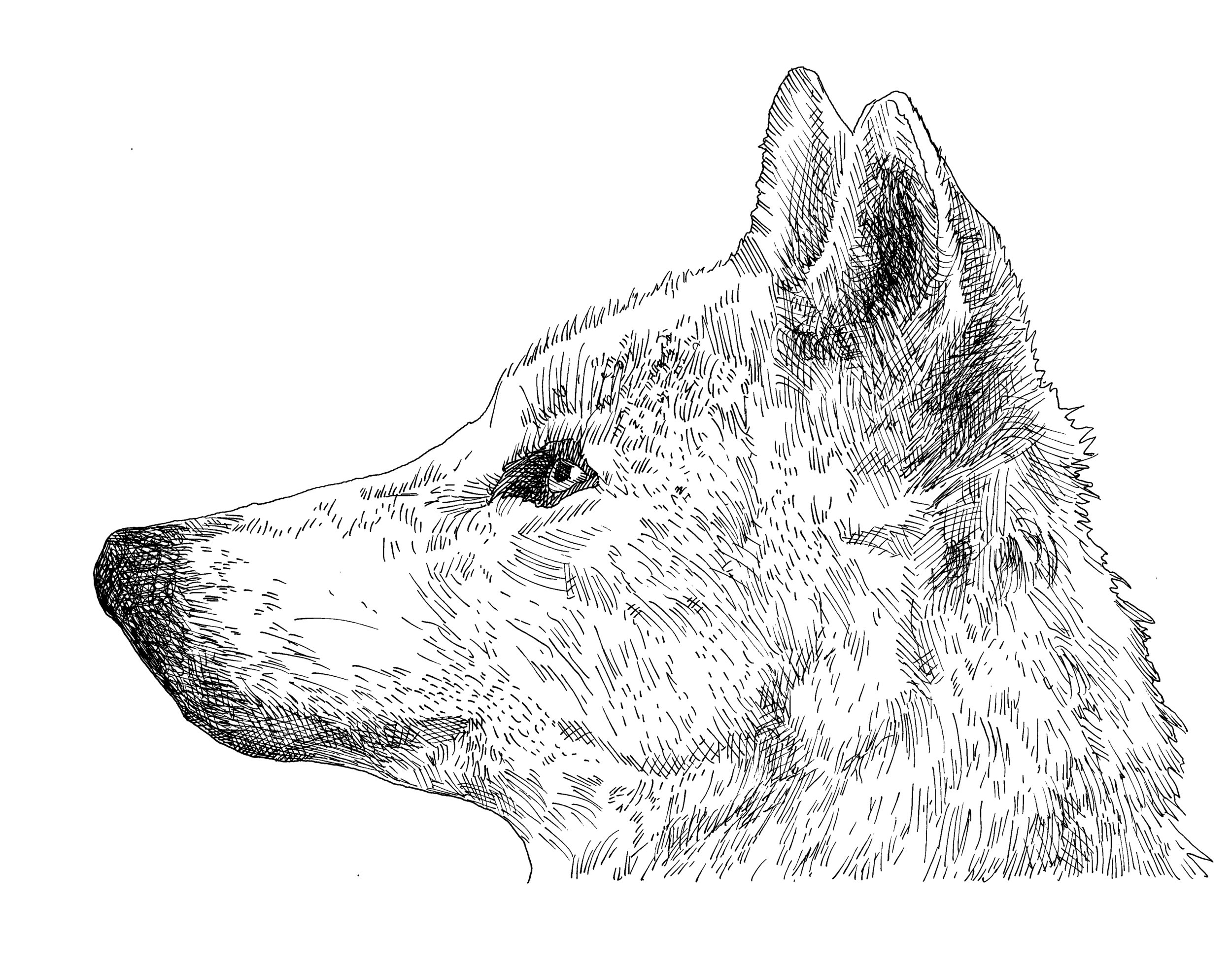 Wolf Pen and Ink.jpg