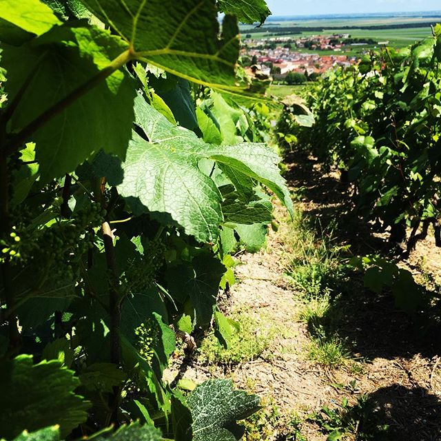 The 🍇 are growing 🙏🏽🌞 #champagne #growing #france #grandcru #lemesnilsuroger #love #passion #goodlife #grandcru