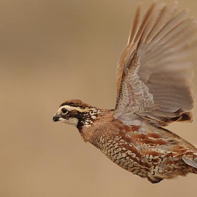 quail2.jpg