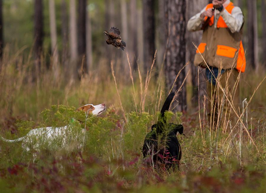 quail_hunt3.jpg