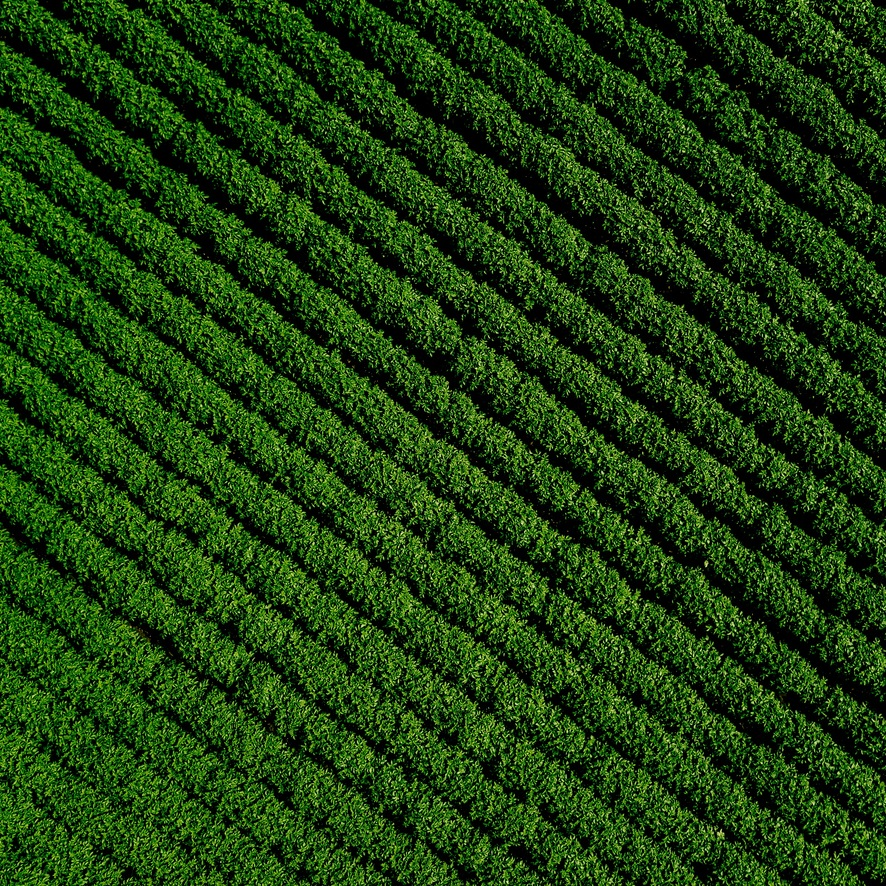 Potato+Field+Close+Crop.jpg