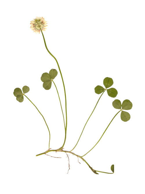 White Clover,  Trifolium repens . Image courtesy of James Walsh.